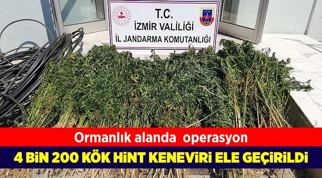 Beydağ'da jandarma 4 bin 200 kök Hint keneviri ele geçirdi
