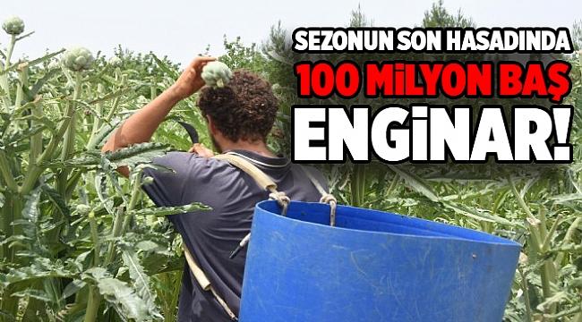 Sezonun son hasadında 100 milyon baş enginar!