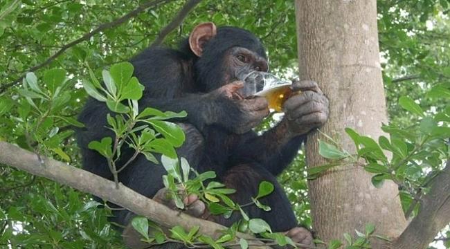 Alkolik maymun dehşet saçtı: 1 ölü, 249 yaralı!