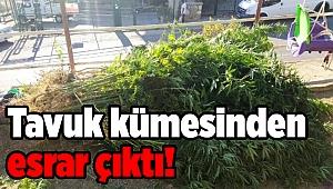 Polisten operasyon: Tavuk kümesinden esrar çıktı!