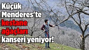 Küçük Menderes'te kestane ağaçları kanseri yeniyor!